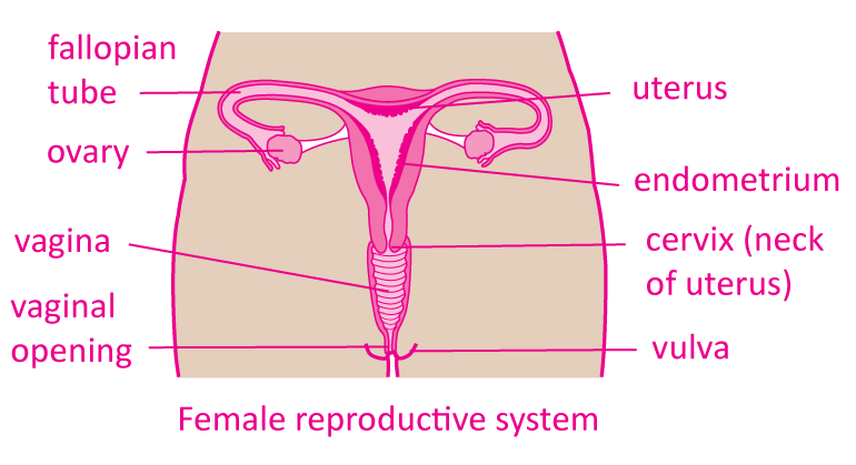 fem-repro-diagrams-2-pink-gold