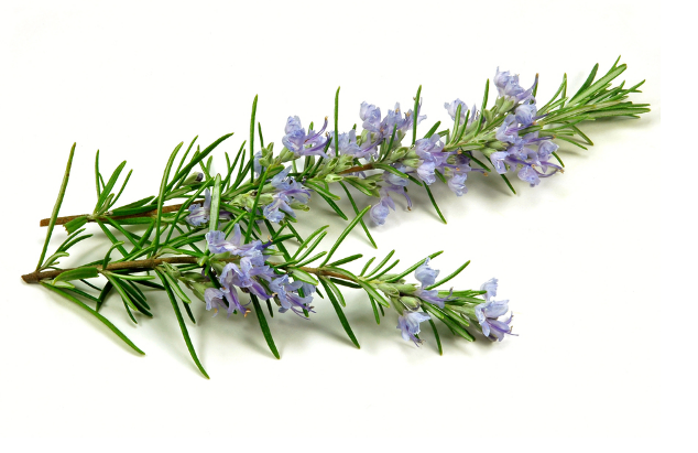Rosemary is multi-important to the health | TheCable.ng