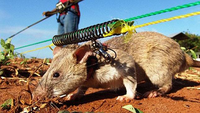 Giant African rats