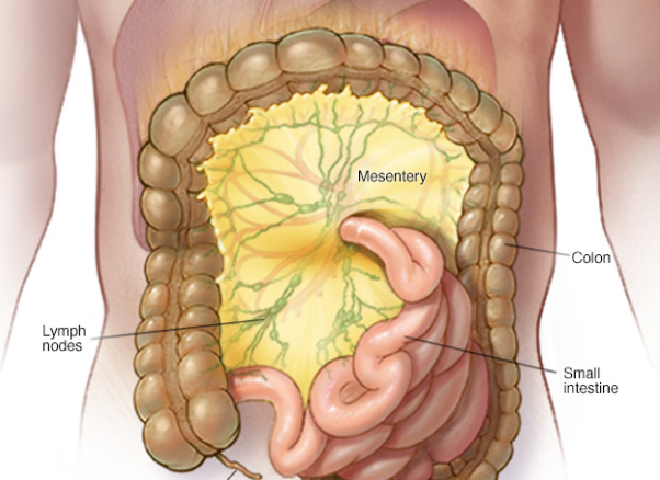 Mesentery may be the 79th organ in the human body | TheCable Lifestyle