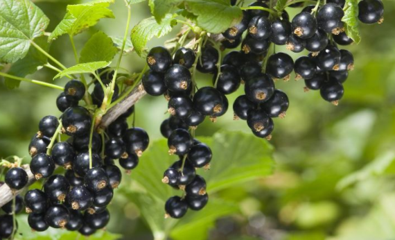 Health benefits of Blackcurrant | TheCable.ng
